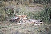 Two small cubs next to female Cheetah Acinonyx jubatus lying in short grass near Ndutu, Ngorongoro Crater Conservation Area, Tanzania