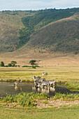 Common Zebras Equus quagga drinking in waterhole in Ngorongoro Crater, Tanzania