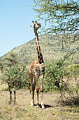 Maasai Giraffe Giraffa camelopardalis stretches to eat acacia leaves in Serengeti National Park, Tanzania