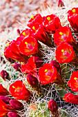 Close up view of Claret Cup Cactus Echinocereus flowers at sunset, Colorado, United States of America