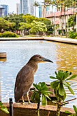 Close up of a Heron standing on a railing near a pond in downtown Honolulu, Honolulu, Oahu, Hawaii, United States of America