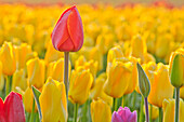 Close up of tulips at Wooden Shoe Tulip Farm, Oregon, United States of America