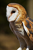 Barn Owl Tyto alba, Ecomuseum, Ste-Anne-de-Bellevue, Quebec, Canada