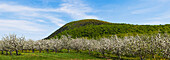 Apple orchard in spring bloom, St. Paul D'abbotsford, Quebec, Canada