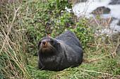 Fur seal Arctocephalus forsteri on grassy bank adjacent to the coast, near Kaikoura, North Canterbury Province, New Zealand