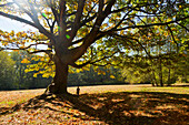 Young boy exploring under oak tree in a park in autumn, Langley, British Columbia, Canada