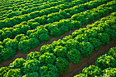 Agriculture - Rows of mature Winter crop green leaf lettuce being grown in the desert  Bard Valley, California, USA.