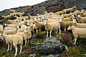 Livestock - A flock of Welsh mules crossbred on a heather covered moorland. Mules are a crossbred sheep, sired by Blue Faced Leicester rams and generally a hill bred ewe  Mid Wales, United Kingdom.