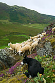 Livestock - Border Collie sheepdog watching over a flock of Welsh mules crossbred on a heather covered moorland. Mules are a crossbred sheep, sired by Blue Faced Leicester rams and generally a hill bred ewe  Mid Wales, United Kingdom.