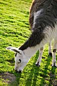Livestock - Closeup of a llama grazing on a green pasture  Butte County, California, USA.