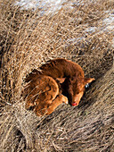 Livestock - A recently born Red Angus beef calf lies curled up in tall native grass in Winter  Alberta, Canada.