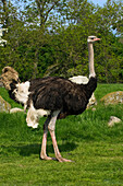 Livestock - A male ostrich on a pasture at an ostrich farm. The ostriches are raised for their meat and eggs  Cumbria, England, United Kingdom.