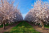 Agriculture - Looking down between rows of almond trees in full Spring bloom  near College City, Northern California, USA.