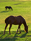 Livestock - Two horses backlit by the sun graze on a green pasture  near Leesville, California, USA.