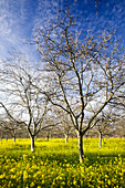 Agriculture - Dormant walnut orchard in Winter with blooming mustard carpeting the orchard floor  near Gridley, California, USA.