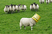 Livestock - Lamb with a bucket on his head, with an audience watching from behind  United Kingdom.