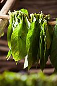 Freshly harvested tobacco leaves,  Vinales, Cuba