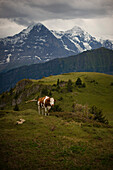 Brown Swiss cow on Schynige Platte with Jungfrau and Monch Alps in background, Wilderswil, Switzerland