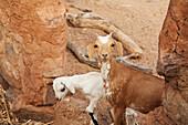 Goat In Pen In Youga, Mali