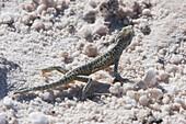 Lizard, Laguna Chaxa, Antofagasta Region, Chile