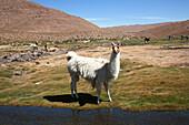Llama Lama Glama, Machuca, Antofagasta Region, Chile