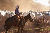 Bolivian Cowboys Herding Indo-Brazilian Cattle Bos Indicus In Rural Chiquitania, Santa Cruz Department, Bolivia