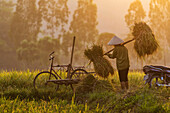 Farmer carrying rice plants in rural field