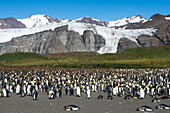 Colony of King penguins Aptenodytes patagonicus on beach with mountain backdrop, Gold Harbour, South Georgia Island, Antarctica