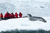Passagiere von Expeditions-Kreuzfahrtschiff MS Hanseatic Hapag-Lloyd Kreuzfahrten blicken von Zodiac Schlauchboot auf Seeleopard Hydrurga leptonyx auf Eissscholle, Paradise Bay Paradise Harbor, Danco-Kueste, Grahamland, Antarktis