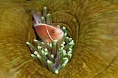 Pink Anemonefish, Amphiprion perideraion, Komodo National Park, Indonesia