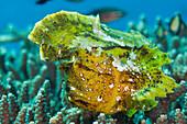 Yellow Leaf Fish, Taenionotus triacanthus, Bali, Indonesia