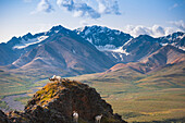Two Adult Dall Sheep rams are sparring on a hilltop at Pollychrome Pass, Plains Of Murie, Denali National Park, Interior Alaska