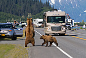A sow Brown bear stands up to look for a missing cub on the shoulder of Dayville Road while traffic stops, Valdez, Southcentral Alaska