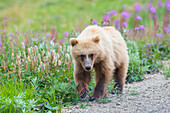 A close up of a grizzly bear cub on a early sunny summer morning at Sable Pass in Denali National Park and Preserve.