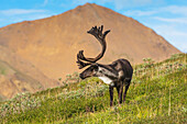 Bull Caribou feeding on Stony Mound in summer in Denali National Park in Interior Alaska