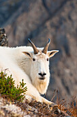 Close up of a billy goat near Crow Creek Pass in Chugach State Park near Girdwood in South Central Alaska.