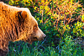 Close up profile of a Grizzly Bear, Denali National Park, Summer