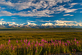 Fireweed line the Park Road on the way to Wonder Lake in Denali National Park with Mt. McKinley and the Alaska Range in the background, Interior Alaska