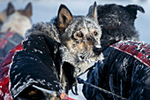 An Anna Berington dog is frosted up after 40 below zero run into the Huslia checkpoint on during Iditarod 2015