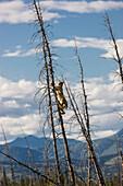 A Lynx climbing a dead spruce tree in a forest fire regeneration area, Kluane Lake, Northern Yukon Territory, Canada, Summer