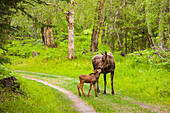 Cow and calf moose along on a trail in Kincaid Park, Southcentral Alaska, summer