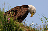 Bald Eagle Sitting On Tundra Mcneil State Game Sanctuary Southwest Alaska Summer