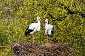 White Storks pair on nest, Ciconia ciconia, Europe
