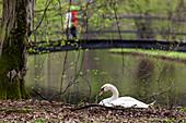 Mute Swan on nest, Cygnus olor, Park, Munich, Upper Bavaria, Germany, Europe