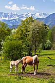 Haflinger horses near Murnau, Wetterstein mountains, Alps, Upper Bavaria, Germany