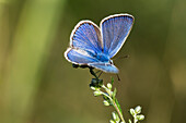 Blue, blue butterfly, Northern Italy, Europe