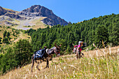 Hiking with a donkey in the Queyras, Alps, France, Europe