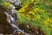 spring with yellow saxifrage flowers, Saxifraga aizoides, Queyras, Alps, France, Europe
