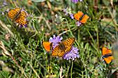 Butterflies, Fritillary, Argynnis sp., Scarce Copper, Lycaena virgaureae, Queyras, Alps, France, Europe