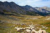 sheep, nature park, Queyras, Departement Hautes-Alpes, Region Provence-Alpes-Cote d'Azur, Alps, France, Europe